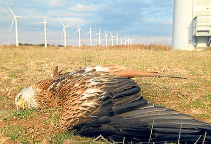 Red kite killed